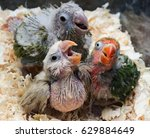 A Group Of Baby Parrots Are...