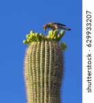 Woodpecker  Saguaro National...