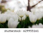 tulips garden | Shutterstock . vector #629955161