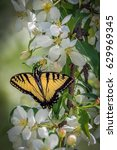 Small photo of Eastern tiger swallowtail butterfly on an American plum bush with white blossoms