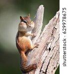 Small photo of Puffy Cheek chipmunk