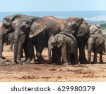 Elephant Family Of Addo...