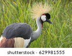 Small photo of An African grey crowned crane poses against lush marsh grasses