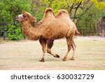the bactrian camel eating ... | Shutterstock . vector #630032729
