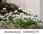 Small photo of Alpine Rockcress. Alpine hill and beautiful white spring flowers.