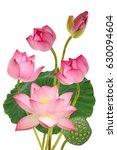 beautiful pink lotus flowers... | Shutterstock . vector #630094604