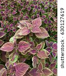 Small photo of Pink coleus leaf background