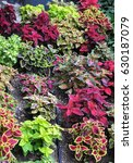 Small photo of Different variety of colourful Coleus.