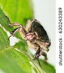 Beetle   Rose Chafer  Cetonia...