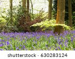 Bright Bluebells Growing On An...