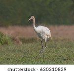 strutting juvenile   a juvenile ... | Shutterstock . vector #630310829