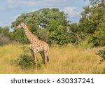 giraffe at the kruger national... | Shutterstock . vector #630337241