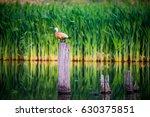 a ruddy shel duck sitting on a... | Shutterstock . vector #630375851