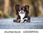 Adorable Brown Chihuahua Dog...