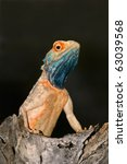 Small photo of Male ground agama (Agama aculeata) in bright breeding colors, Kalahari desert, South Africa