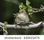 willow warbler  phylloscopus... | Shutterstock . vector #630422474