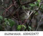 grasshopper warbler  ... | Shutterstock . vector #630422477