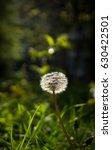 yellow dandelions close up.... | Shutterstock . vector #630422501