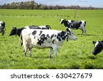 white cow with black spots... | Shutterstock . vector #630427679