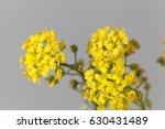 Small photo of Flower of Alyssum montanum an ornamental plant in Europe.
