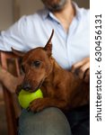 Small photo of A small pinscher dog plays the ball, sitting on his knees of his master.