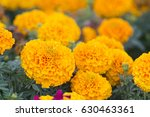 Lots Of Beautiful Marigold...