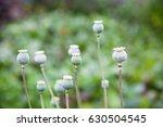 green poppy  papaver  seed pods ... | Shutterstock . vector #630504545