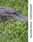 American Gator In Grass