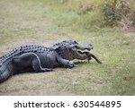 alligator female trying to...   Shutterstock . vector #630544895