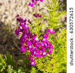 Small photo of Dainty small two lipped blooms of nemesia flowering in late winter add charming bright purple and pale pink pink color to a drab garden landscape attracting butterflies and bees in winter.