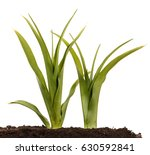 a young bush of the daylily in... | Shutterstock . vector #630592841