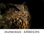 Portrait Eurasian Eagle Owl....