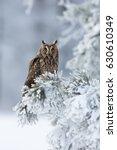 long eared owl  asio otus  ... | Shutterstock . vector #630610349
