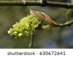Small photo of Oregon or Bigleaf Maple - Acer macrophyllum Closeup of Flower From Pacific Coast of USA