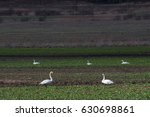 whooper swans at meadow. | Shutterstock . vector #630698861