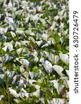 Mosaic White Leaf Os Coltsfoot...