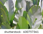 green cigar leaf or calathea... | Shutterstock . vector #630757361