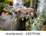 Closeup Of A Female Moose...