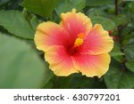 An Ombre Hibiscus Yellow To Red