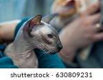 peterbald cat    portrait  ... | Shutterstock . vector #630809231