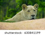 the white lioness rests near... | Shutterstock . vector #630841199