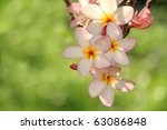 Frangipani in soft afternoon lighting - stock photo