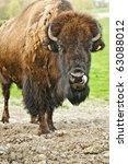 Small photo of American buffalo in a field