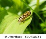 Hoverfly  Syrphus Ribesii  On ...