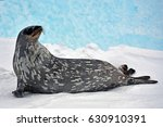 seal   ringed seal  pusa... | Shutterstock . vector #630910391