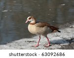 Egyptian Goose Walking On The...