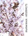 Small photo of Soft blurred Flowering Plum. Cherry Plum Tree. Prunus Cerasifera Nigra.