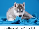 Stock photo cute siberian husky puppy on a blue background 631017431