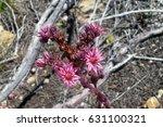 mountain houseleek flower in...   Shutterstock . vector #631100321