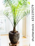 Date Palm In Patio Container A...